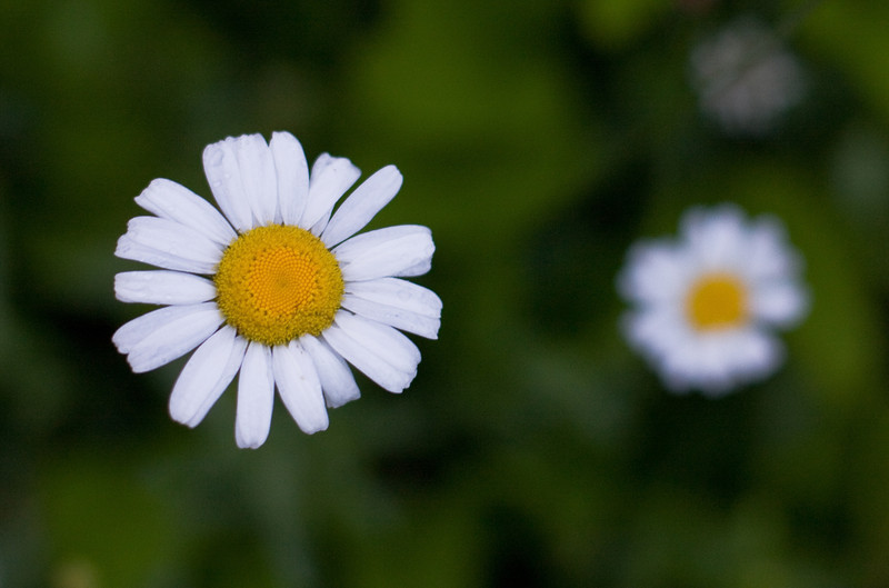 Wild daises in summer