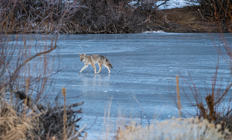 Coyote Across the Ice