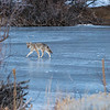Coyote Across the Ice