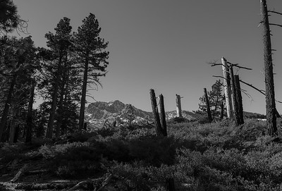 Tallac in the Distance, Between the Living and Dead Trees