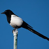 Magpie on a Post