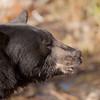 Black Bear Profile