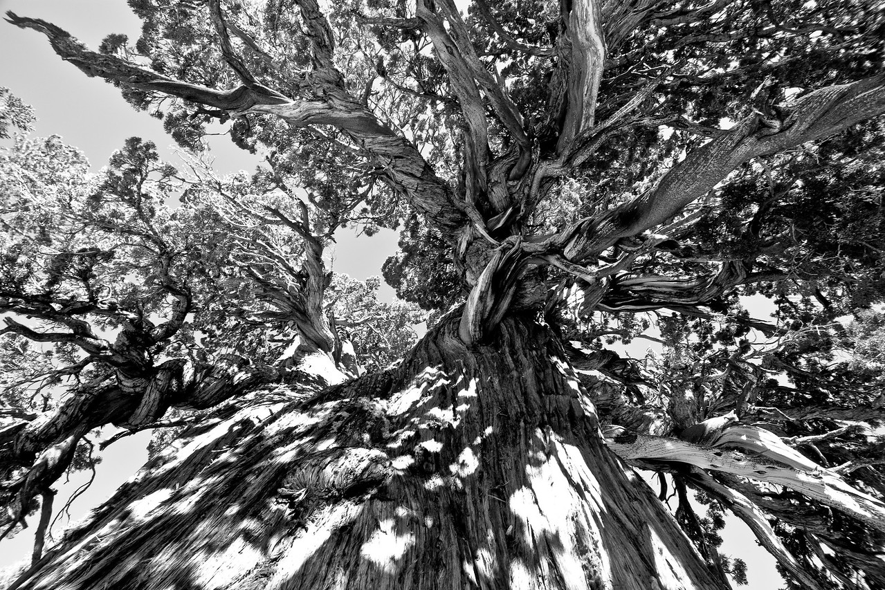 Old  Growth Cedar from Below