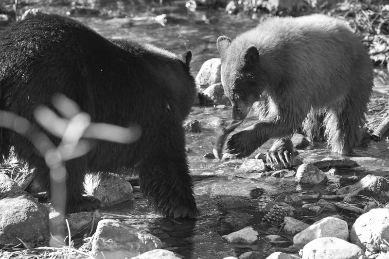 Bears Gone Fishing
