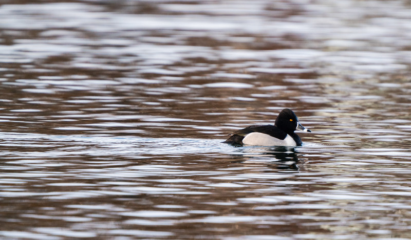 Ring-necked Duck on Calm Waters