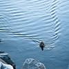 Mallard Swimming to Shore