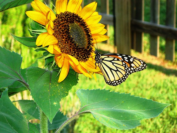 Mary Lacey won a prize in a local Artists Photo Showcase for a chance meeting of this butterfly-sunflower happening.