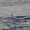 DTP_3281 Sail Tail Fin