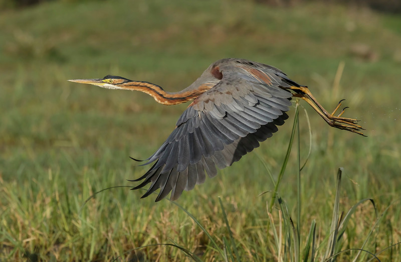 purple heron at bharatpur