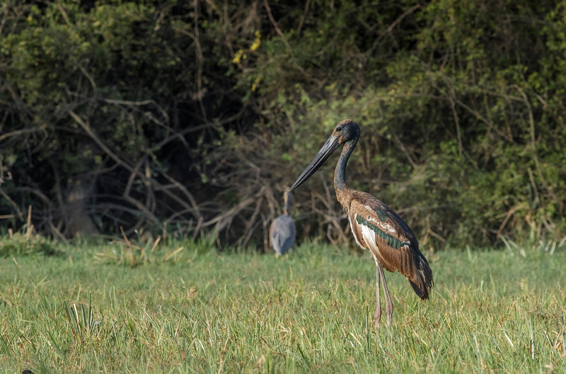 a juvenile of black-necked stork at bharatpur