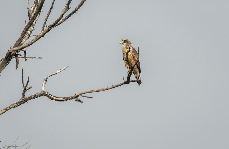 juvenile crested serpent-eagle