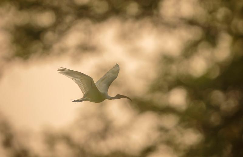 black-headed ibis in golden light