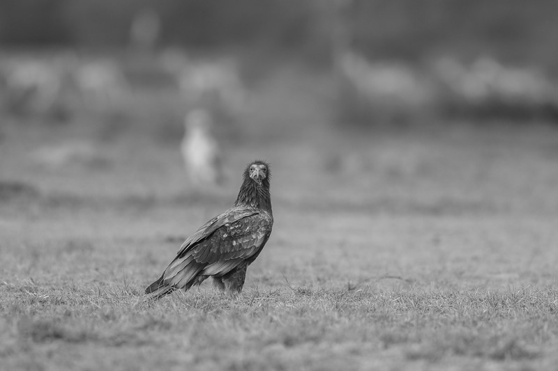 an immature of egyptian vulture, gaushala