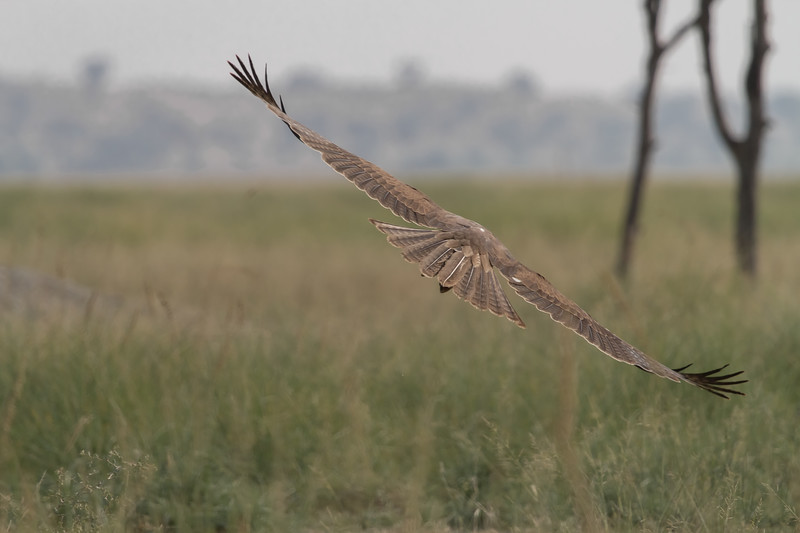a juvenile of bonelli's eagle