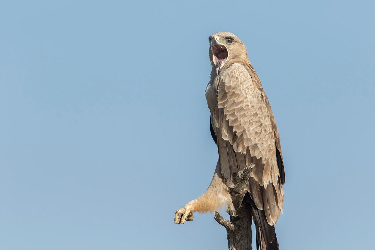 tawny eagle from gaushala
