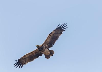 adult imperial eagle at gaushala, chhapar