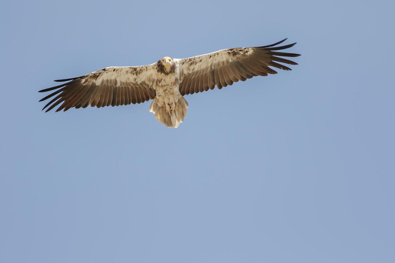 a subadult of egyptian vulture