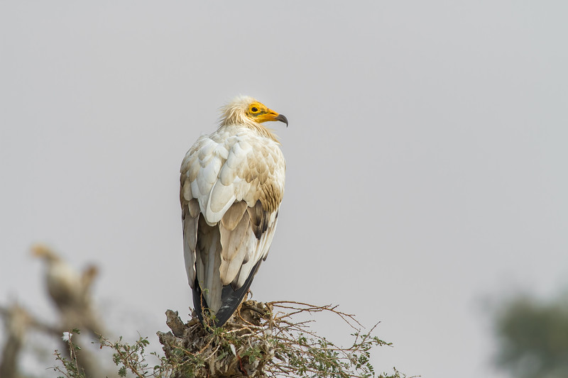 an adult of an egyptian vulture