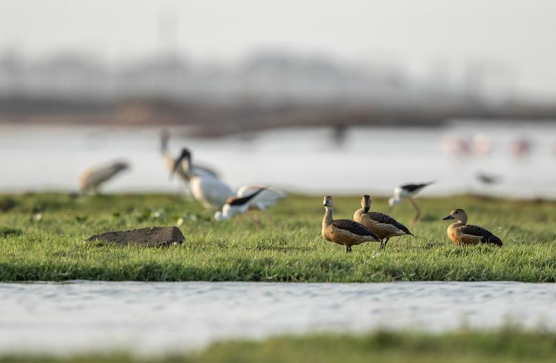 lesser whistling-ducks