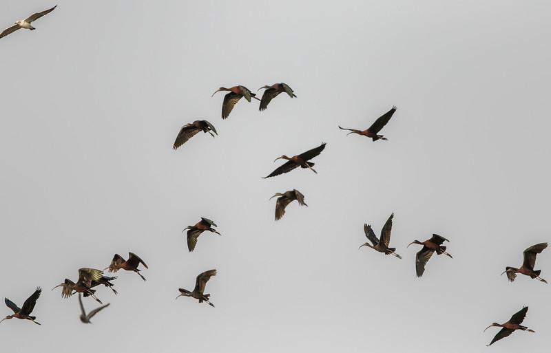 glossy ibis flock at a wetland near bedi port, jamnagar