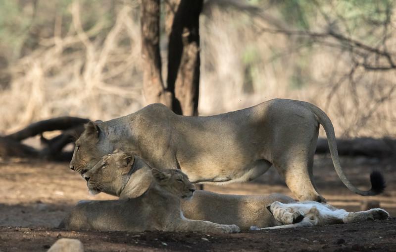 lion pride at gir np