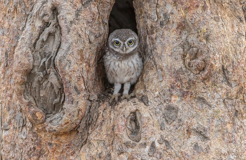 spotted owlet at gir national park