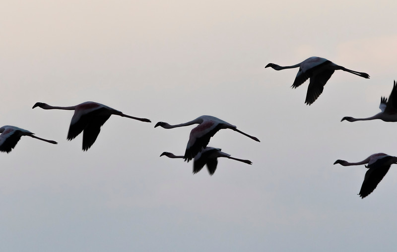 low light flight of lesser flamingos