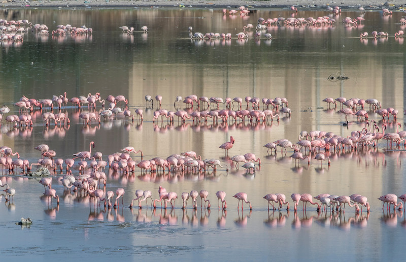 lesser flamingos at porbandar bird sanctuary