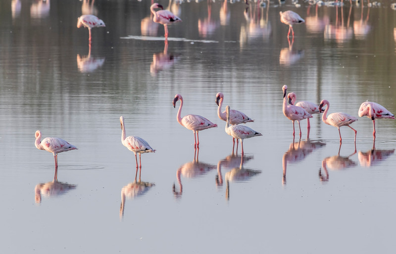 lesser flamingos at chhaya rann, porbandar