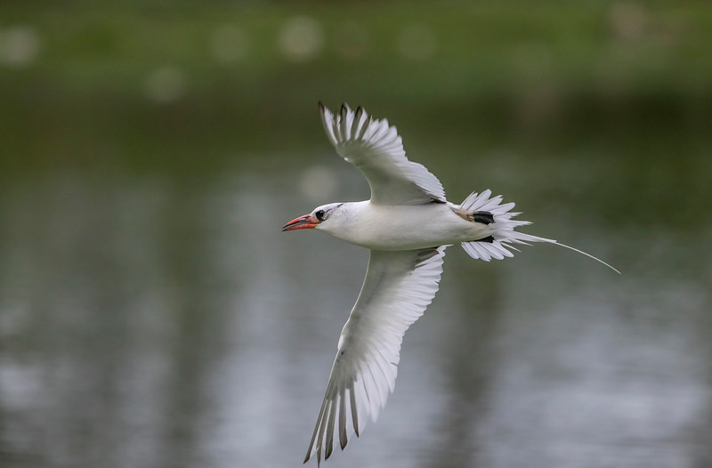 red-billed tropicbird just outside porbandar bird sanctuary