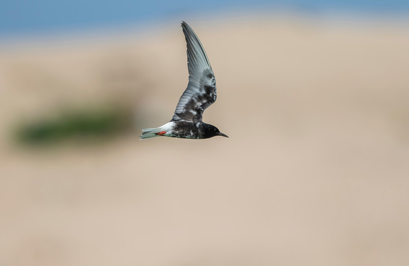 white-winged tern in breeding plumage
