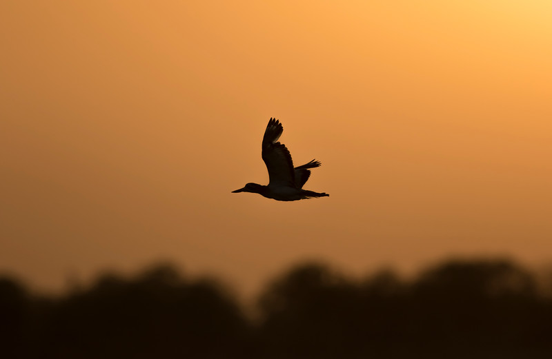 great thick-knee at dhareshwar reservoir