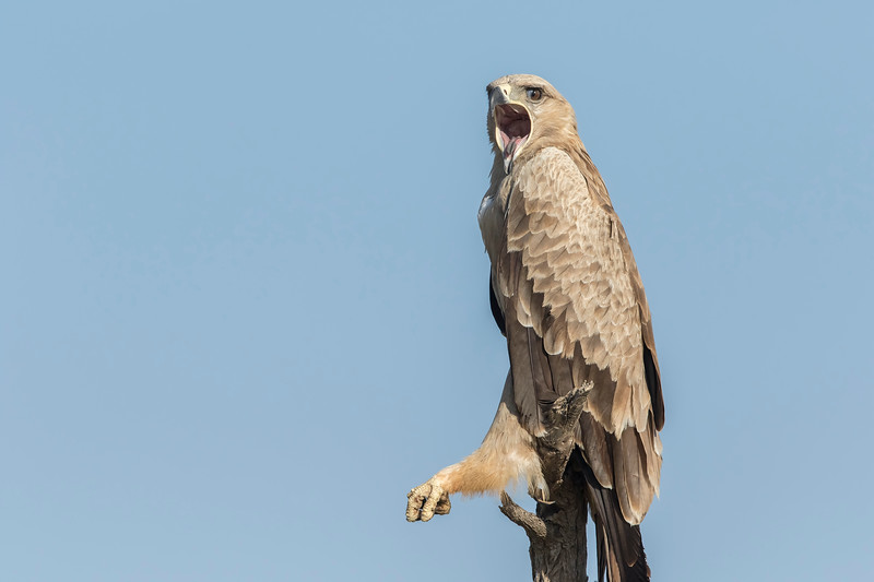 tawny eagle from gaushala