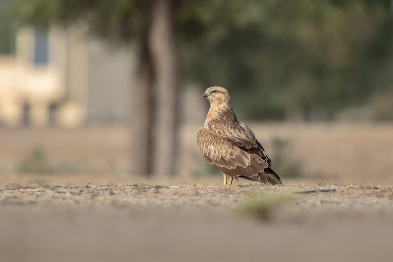 long-legged buzzard at gaushala
