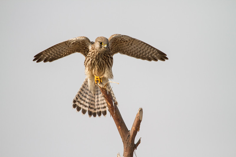 a female of common kestrel