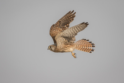 common kestrel inside the sanctuary