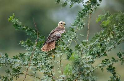 juvenile of black-eyed buzzard