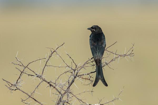 black drongo, probably juvenile