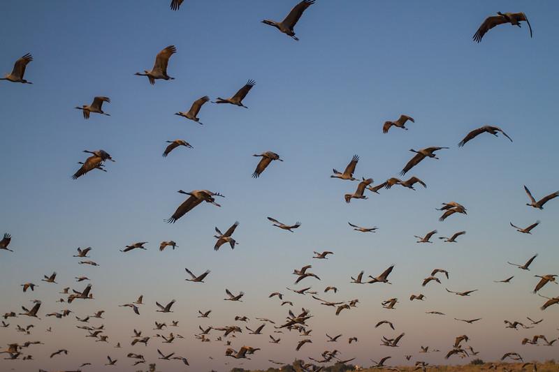 early morning flight of  demoiselle cranes at Kheechan, Rajasthan.