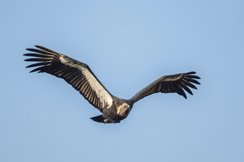 a flight of critically endangered white-rumped vulture around suhelwa