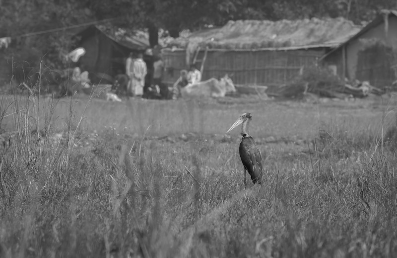 vulnerable lesser adjutant in company of simple people