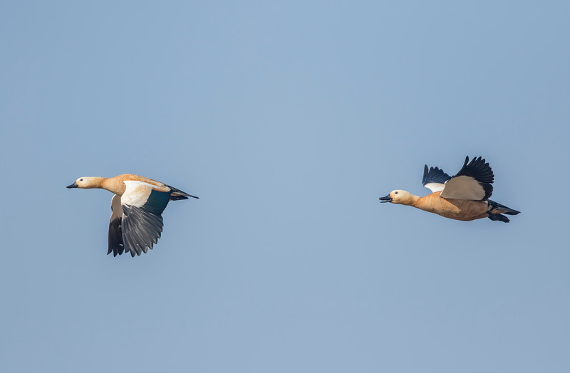 ruddy shelduck pair in flight