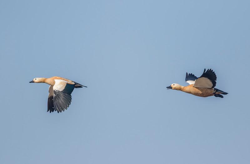 ruddy shelduck pair in flight