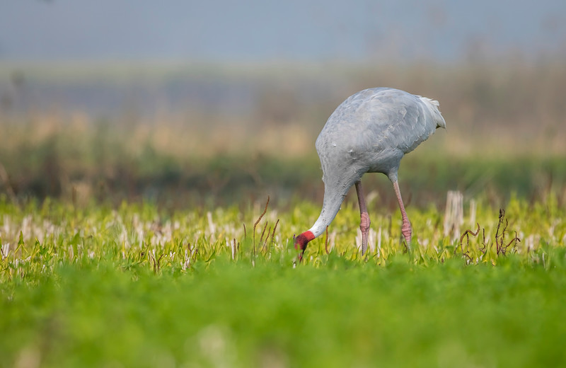 vulnerable sarus crane co-existing with uttar pradesh farmers