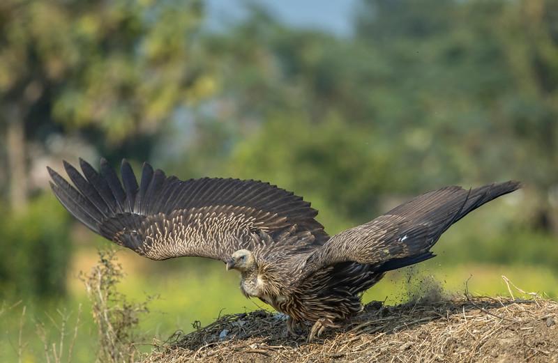 a juvenile himalayan griffon about to take off the paddy field near suhelwa wls