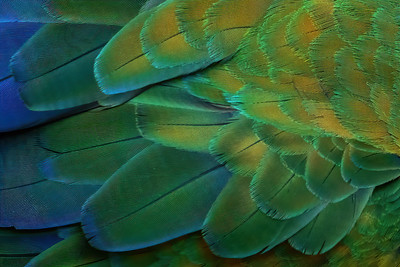 Great Green Macaw Feathers