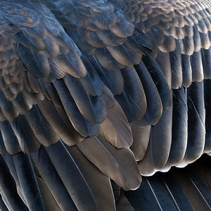 Black Vulture Feathers