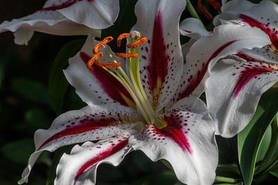 Lilium 'Big Smile'