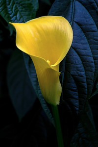 Golden Calla Lily