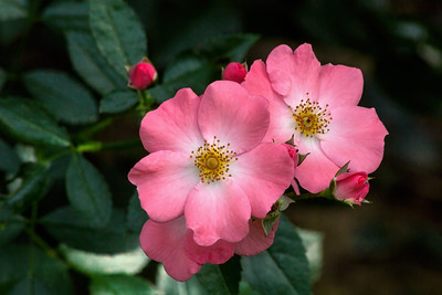 Old-fashioned Climbing Roses